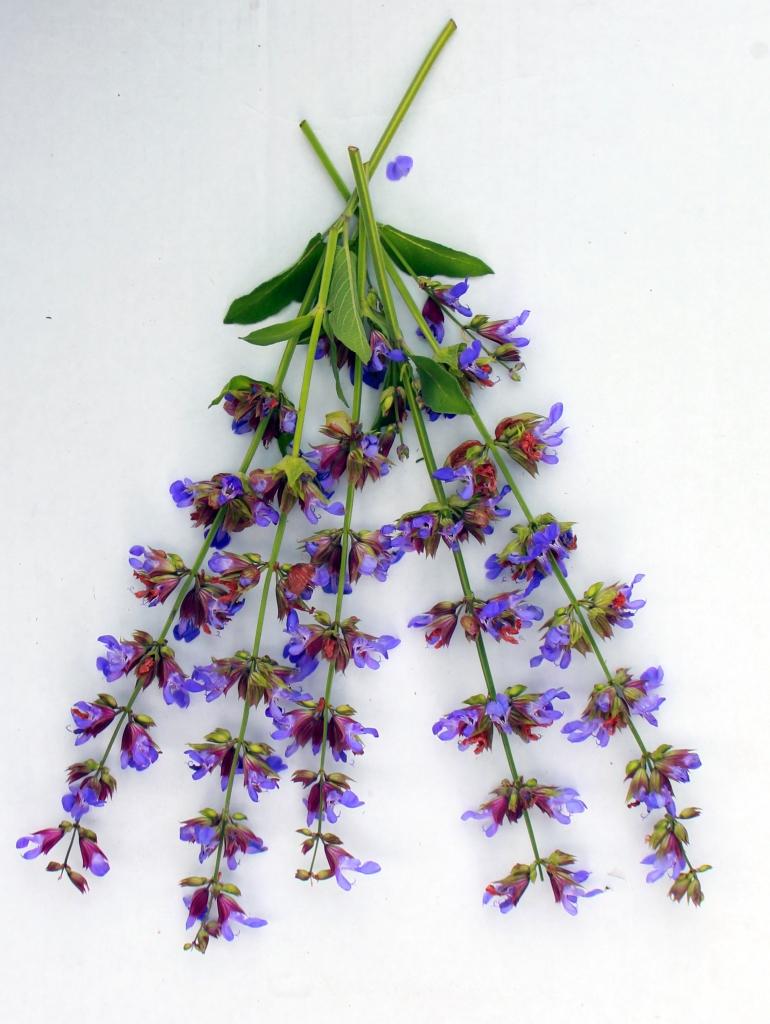 Purple Sage Flower