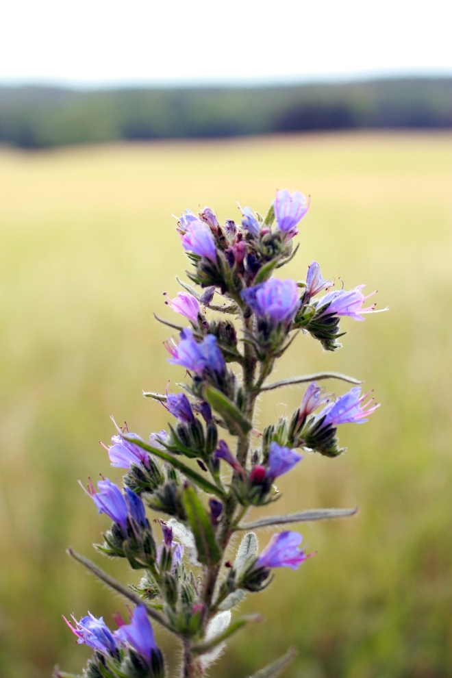 Magick with Viper's Bugloss