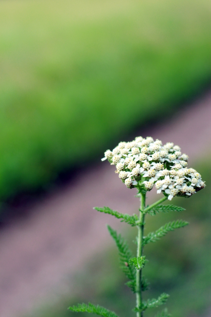 The Magick of Queen Anne's Lace