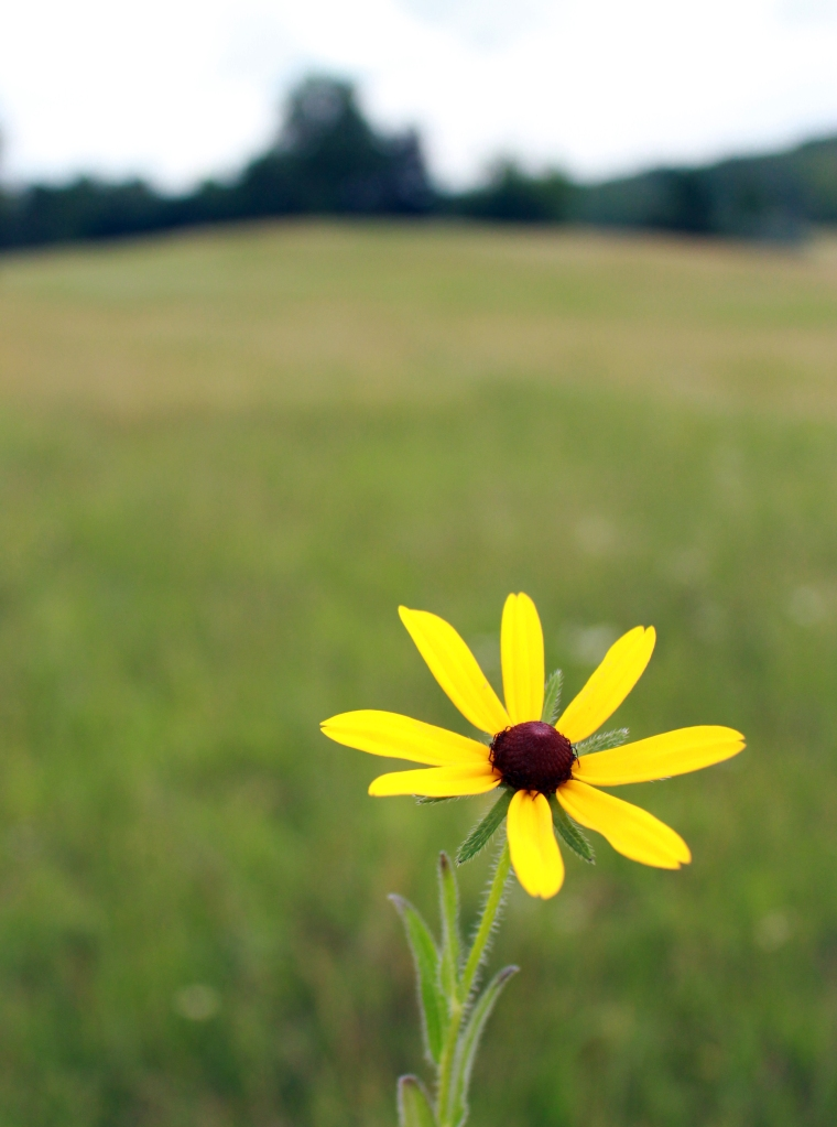 Wiccan Uses for Black Eyed Susan