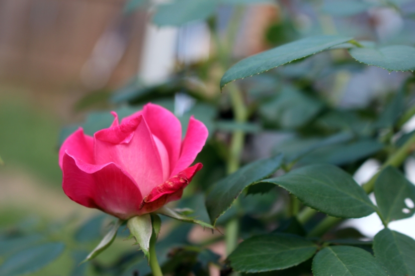 Rose Bush Garden Spell for Love